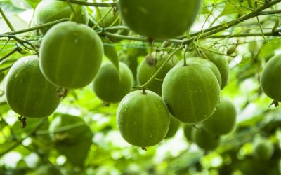 6 Benefits of Monk Fruit You Simply Can't Ignore